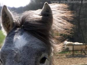 Halber Pferdekopf mit fliegenden Pferdehaaren im Wind und Pferdeauge