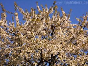Blütenbaum im Frühjahr