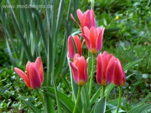 Rote Tulpen im Gartenbeet