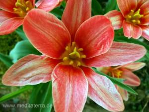 rote Tulpenblüte - weit aufgeblüht