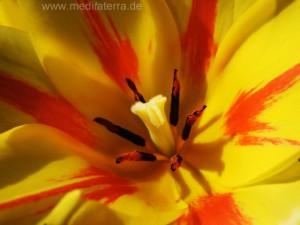 Tulpe - gelb rot mit Narbe und Schatten - Nahaufnahme