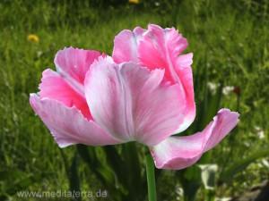 Rosa Tulpenblüte - gefiedert