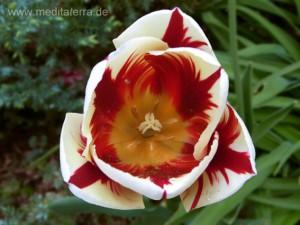 Weiße Tulpenblüte - rot geflammt