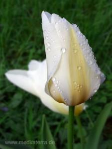 Weiße Tulpe mit Wassertropfen