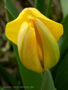gelbe Tulpenknospe am Erblühen