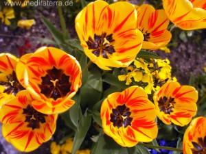 gelbes Tulpenbeet mit rotgeflammten Blüten
