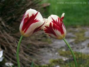 Zwei Tulpenblüten - karminrot weiß