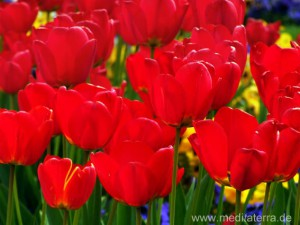 Rotes Tulpenfeld in Holland bei Amsterdam