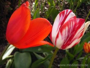 Rote und rotweiße Tulpe - Holland