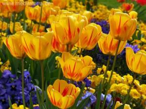 Gelbes Tulpenbeet in Holland bei Amstedam