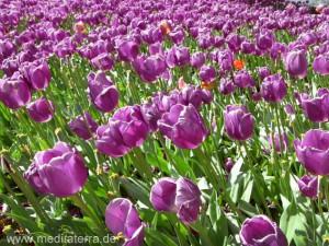 violettes Tulpenfeld - Holland bei Amsterdam