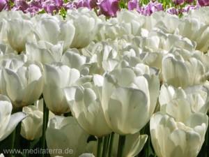 weißes Tulpenfeld in Holland bei Amsterdam
