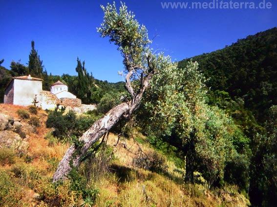 Griechenland, Sporadeninsel Skiathos - Kloster Kechria mit schiefem Olivenbaum im Vordergrund