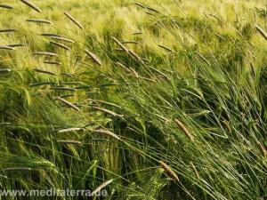 Grüne Gräser im Kornfeld