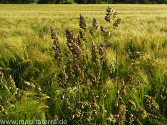 Grüne Wiesengräser mit Kornfeld