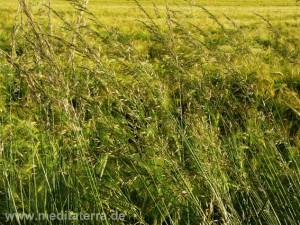 Grüne Gräser am Wegesrand