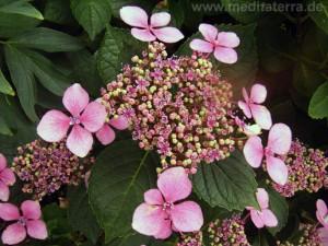 Hortensienblüte erblüht