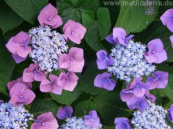 Hortensie blüht rosa und violett