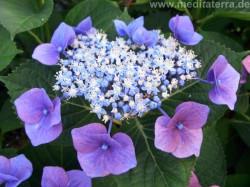 Hortensienblüte blau violett