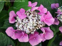 Hortensie rosa weiß