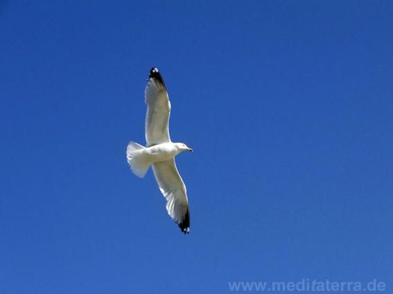 Möwe im Flug - strahlend blauer Himmel