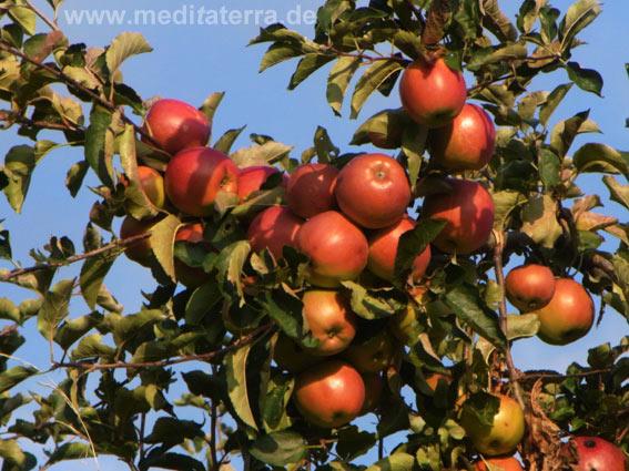 Rote Äpfel am Apfelbaum mit blauem HImmel im Hintergrund - Komplementärfarben im Herbst.