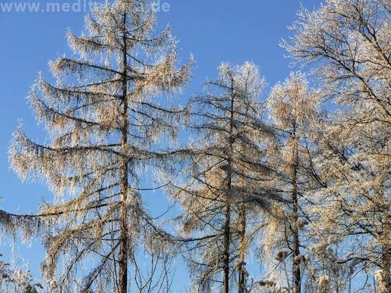 Schweden: Lärchenbäume im Winter mit blauem Himmel