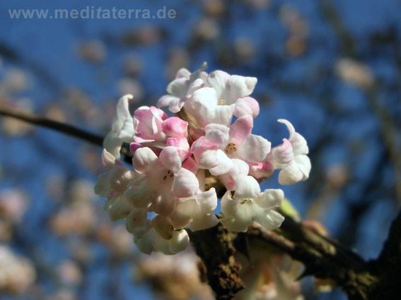 Blüte an dem Duftstrauch Viburnum bodnantense Dawn