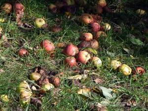 Kunstweg an den Streuobstwiesen: saftige Äpfel im Gras