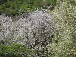 Blütenbaum im Frühling