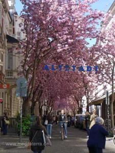 Japanische Kirschbäume in der Bonne Altstadt