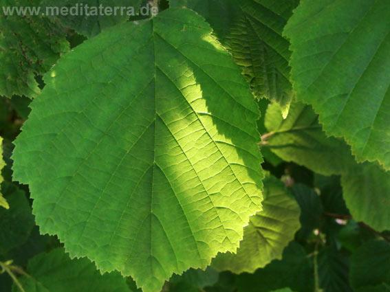 grünes Blatt mit Sonne und Schatten