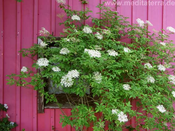 Blühender Hollunderbusch an pinfarbener Hauswand