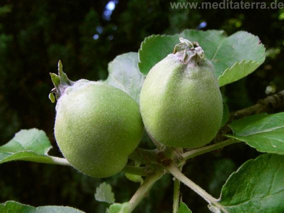 grüne Apfel am Baum