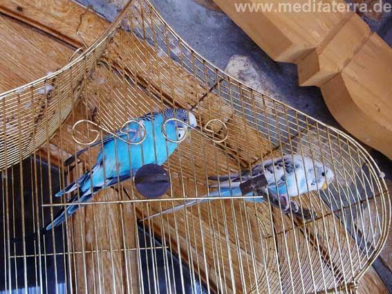 Zwei blaue Wellensittiche im Käfig