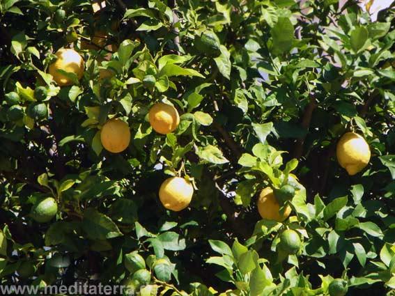 Zitronenbaum: Subtropische Vegetation in mediterranen Gärten