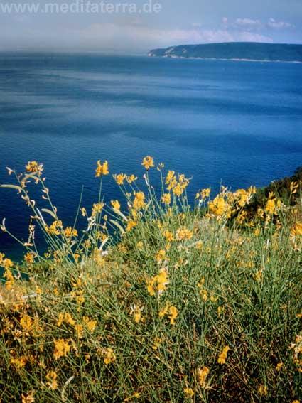 Blick von Istrien auf die Adria mit blühendem Ginster