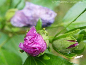 Eibischblütenknospe im Regen