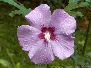 Eibischblüte nach dem Regen