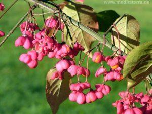 Spindelstrauch mit roten Früchten