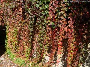 Wilder Wein an einer Mauer im Burgund