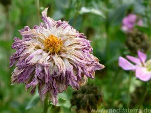 Welkende Zinnie - violett