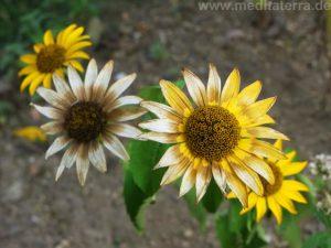 Welkende Zinnien - beige und gelb