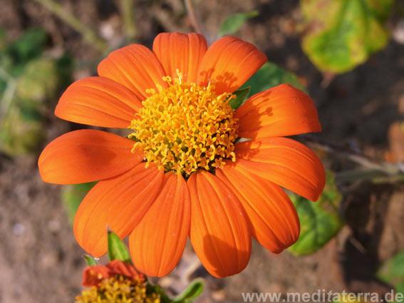Orange Zinnienblüte mit Schatten