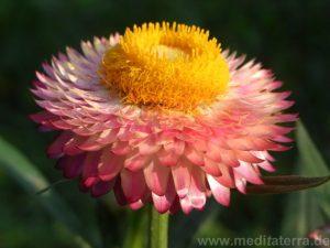 Zinnie- bizaar rosafarben