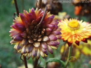Zinnie - Blütenunterseite
