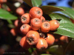 Rote Beeren der Zwergmispel