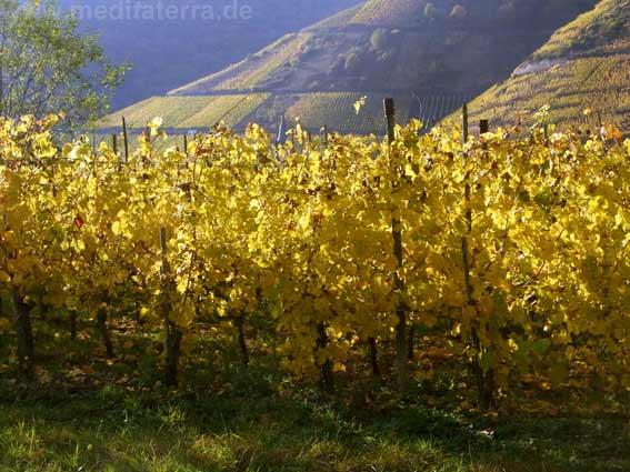 Moselweinberge in den goldenen Farben des Herbstes