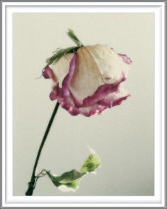 Sophia Koopman 2, Netherlands, Rose, 2006, Photo, 10,8 x 14 cm