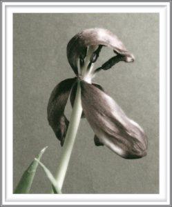Sophia Koopman 3, Netherlands, Tulip II, 2005, Photo, 14 x 10,5 cm